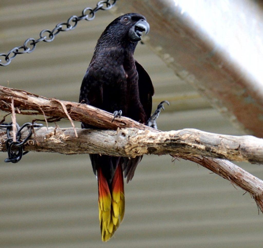 gambr burung nuri hitam