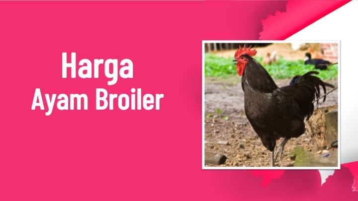 harga ayam broiler lengkap