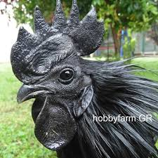 jengger ayam cemani