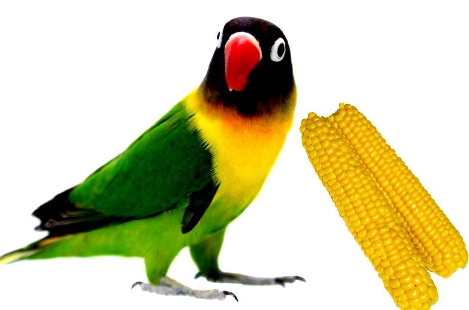 pakan lovebird jagung