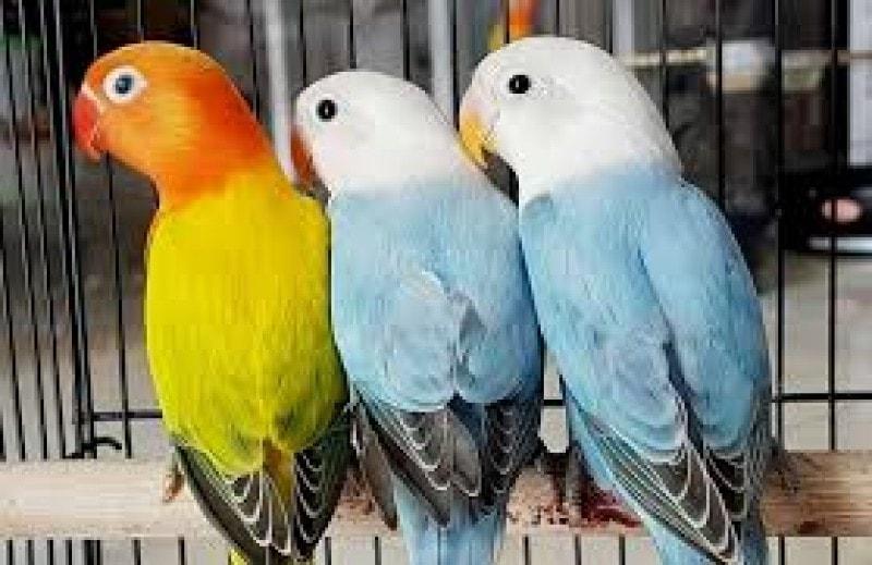 pengertian burung labet
