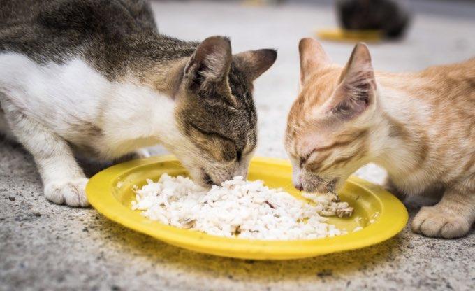 Kucing Kampung Makan Nasi tanyadokterhewan.com